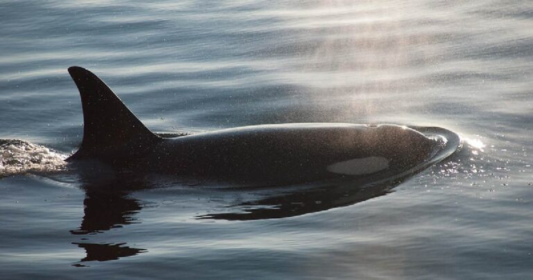 Stop Terminal 2 expansion: Protect Southern Resident killer whales and their prey, Fraser River Chinook salmon