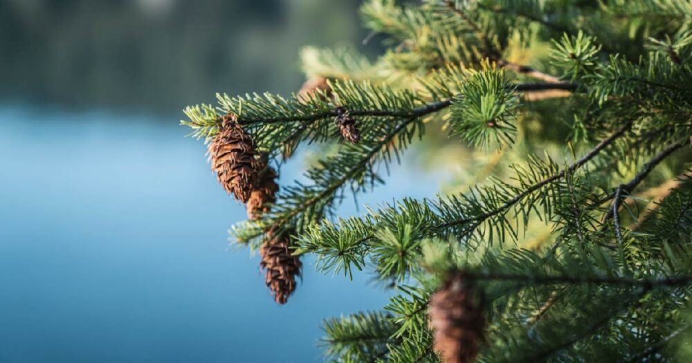 Fir tree with cones with the blue ocean in the background.