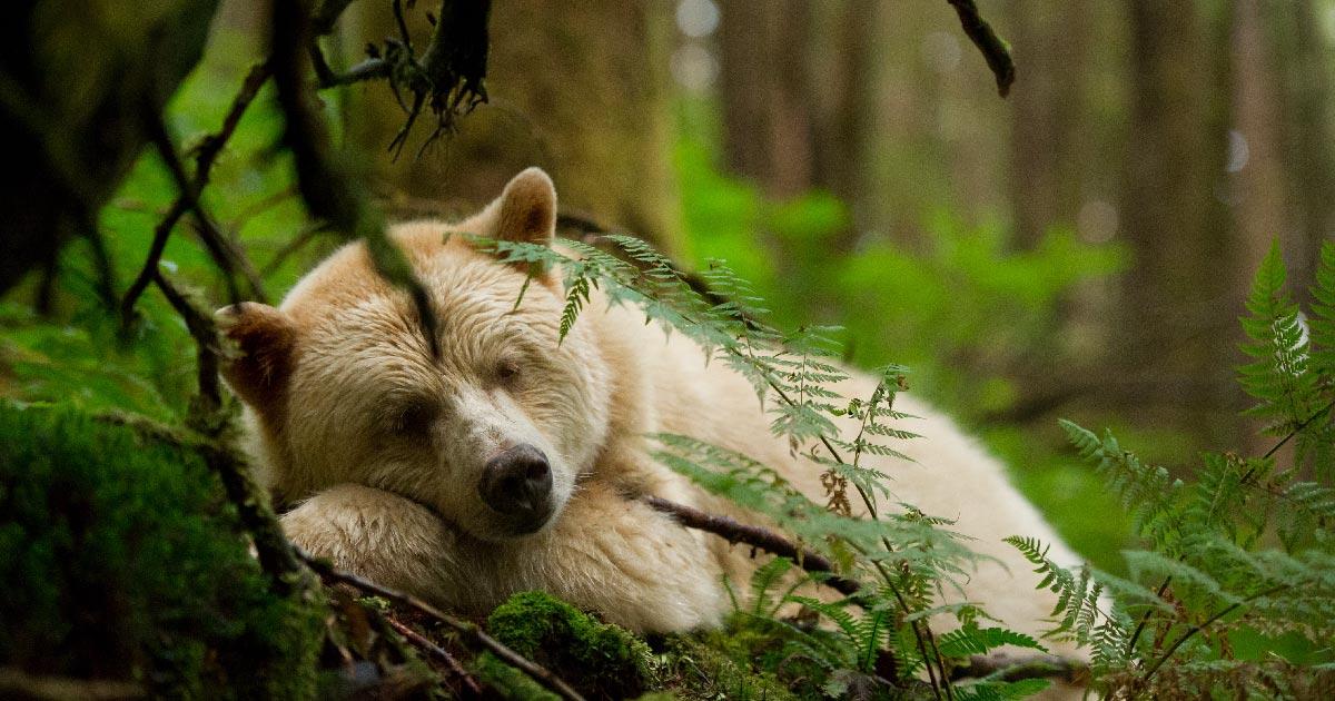 Spirit Bear sleeping in the moss.