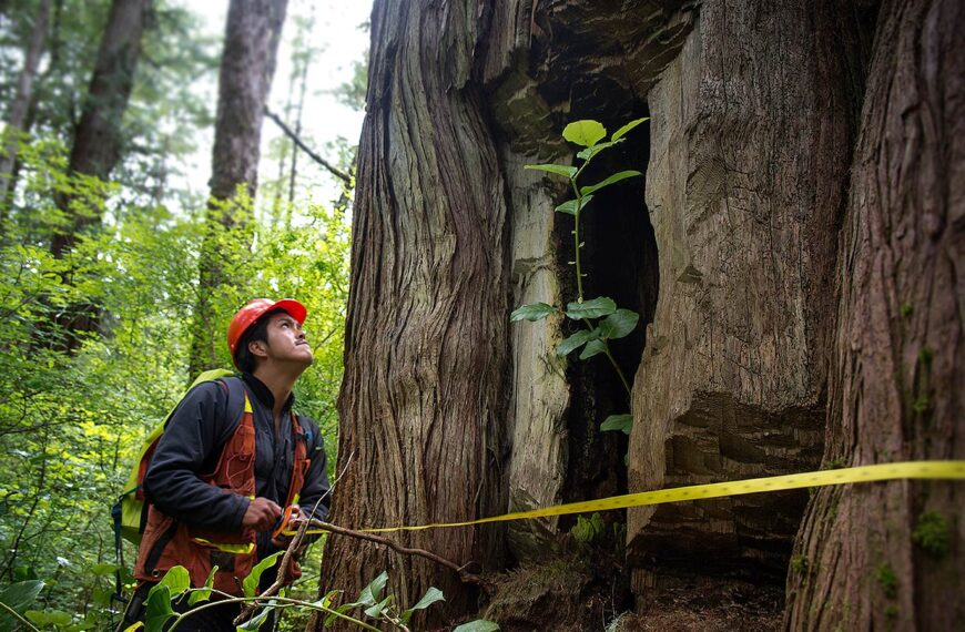 Culturally modified tree in the Great Bear Rainforest, being measured by Stephen Neasloss.