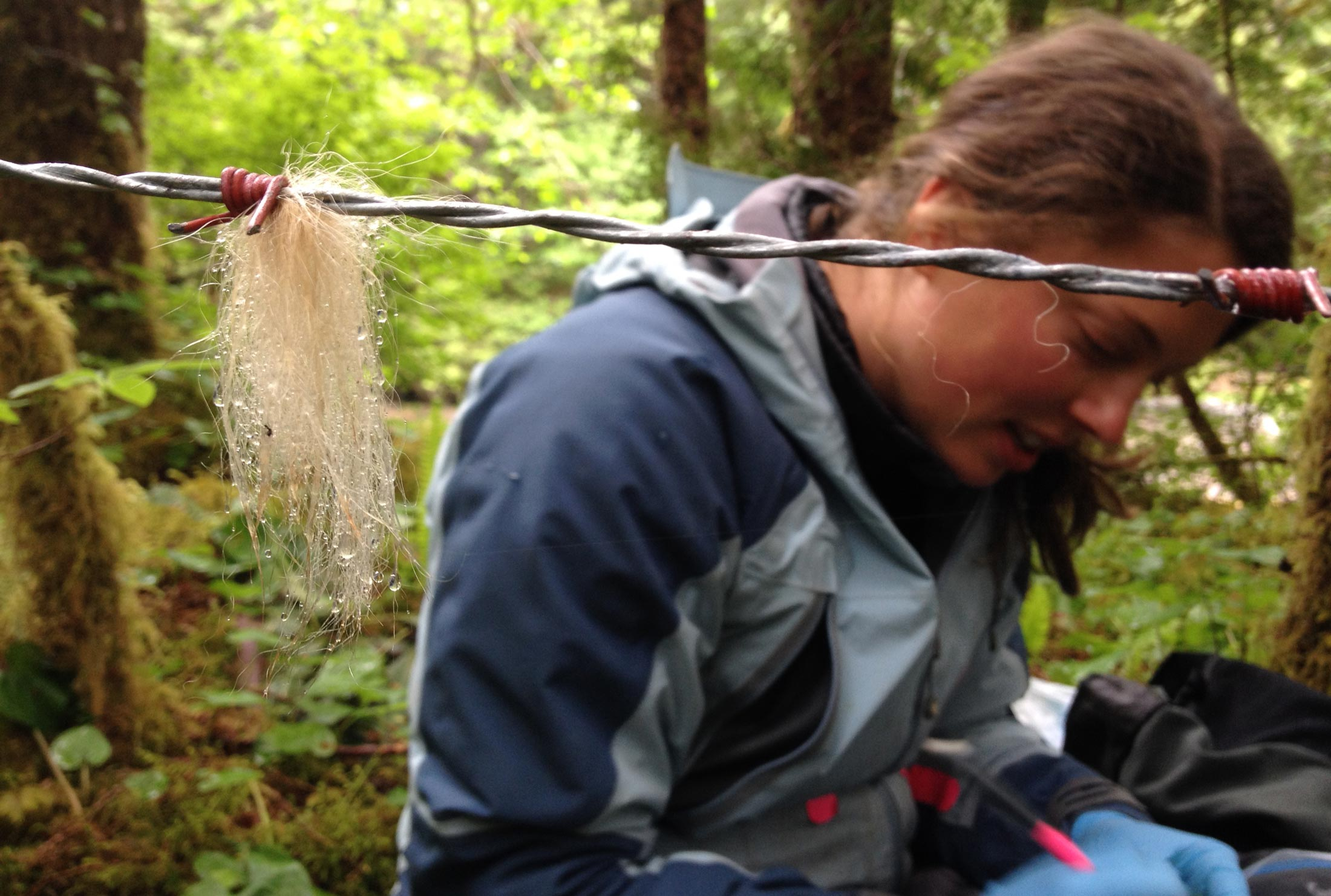 Christina Service sits down beside some barbed wire to take samples of white bear hair.