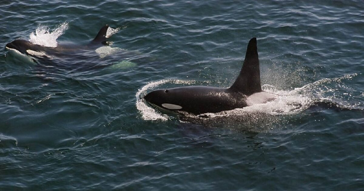 Two Southern Resident killer whales surfacing on the ocean.