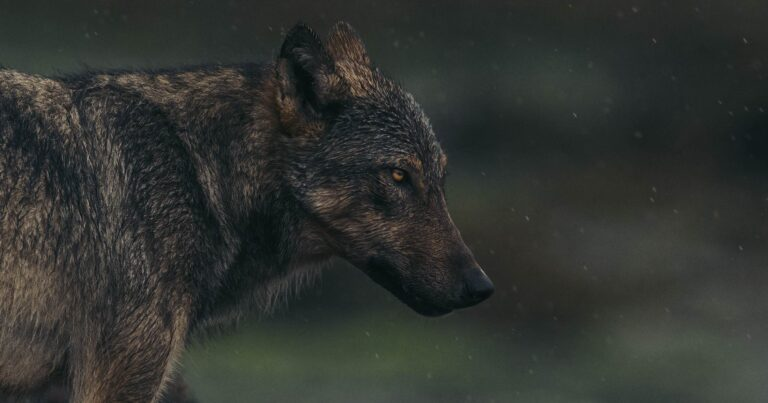 A coastal wolf stares out from the beach surrounding by small bugs and water droplets.