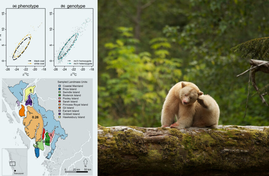 A map and a science figure from Christina Service's paper hover in the foreground with a Spirit bear scratching their ear in the background.