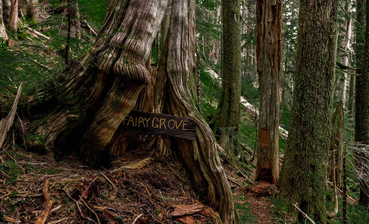 Photo of an ancient yellow cedar tree with a sign at the root that says Fairy Grove