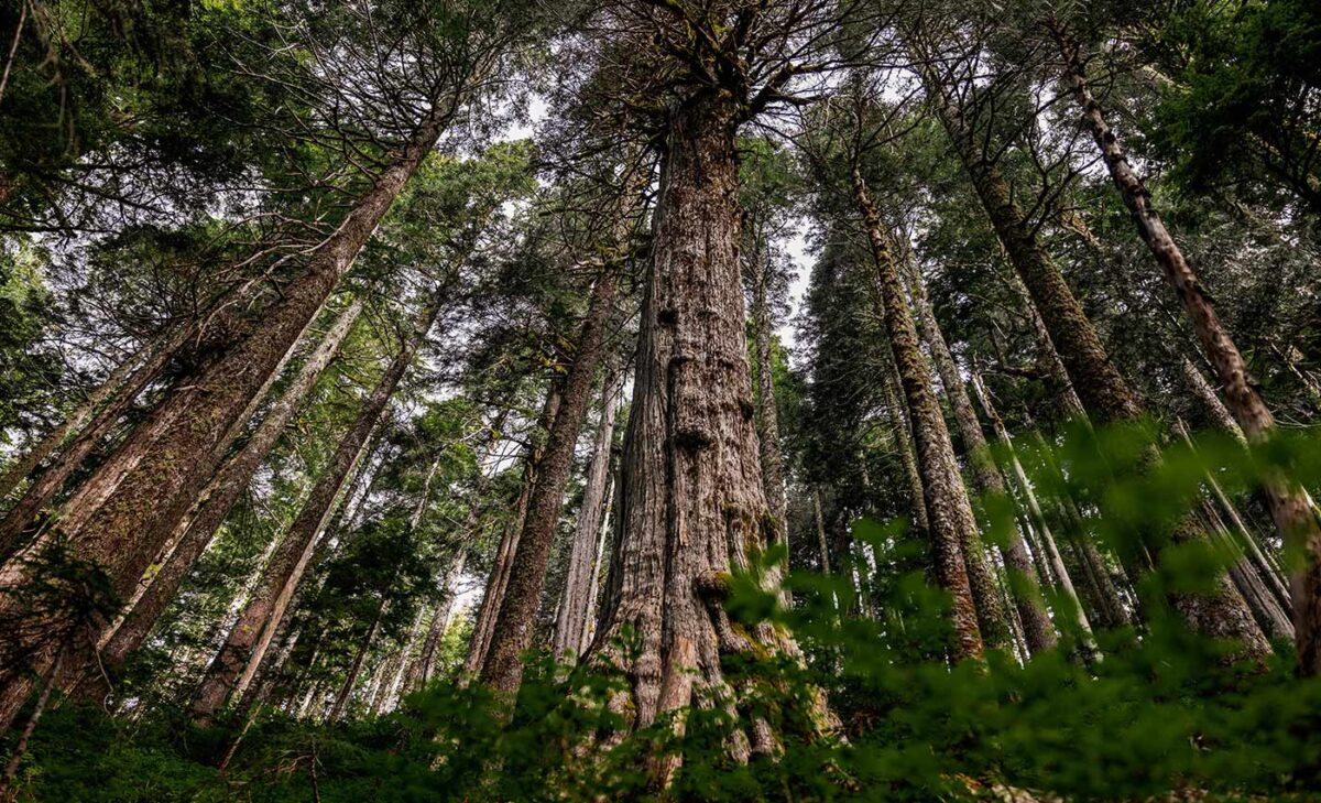 Photo of ancient yellow cedar trees from below.