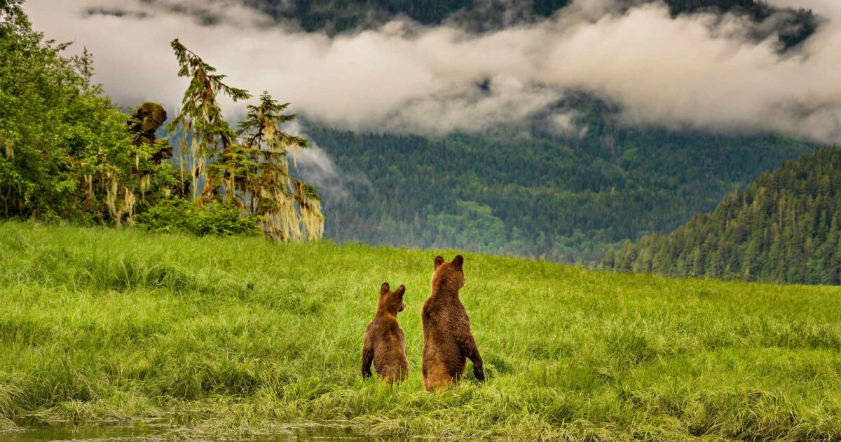 Two grizzly bears looking into the distance while standing in an estuary.