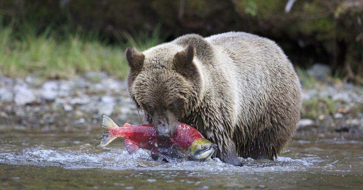 A grizzly bear stands in the water hold a salmon in their mouth.