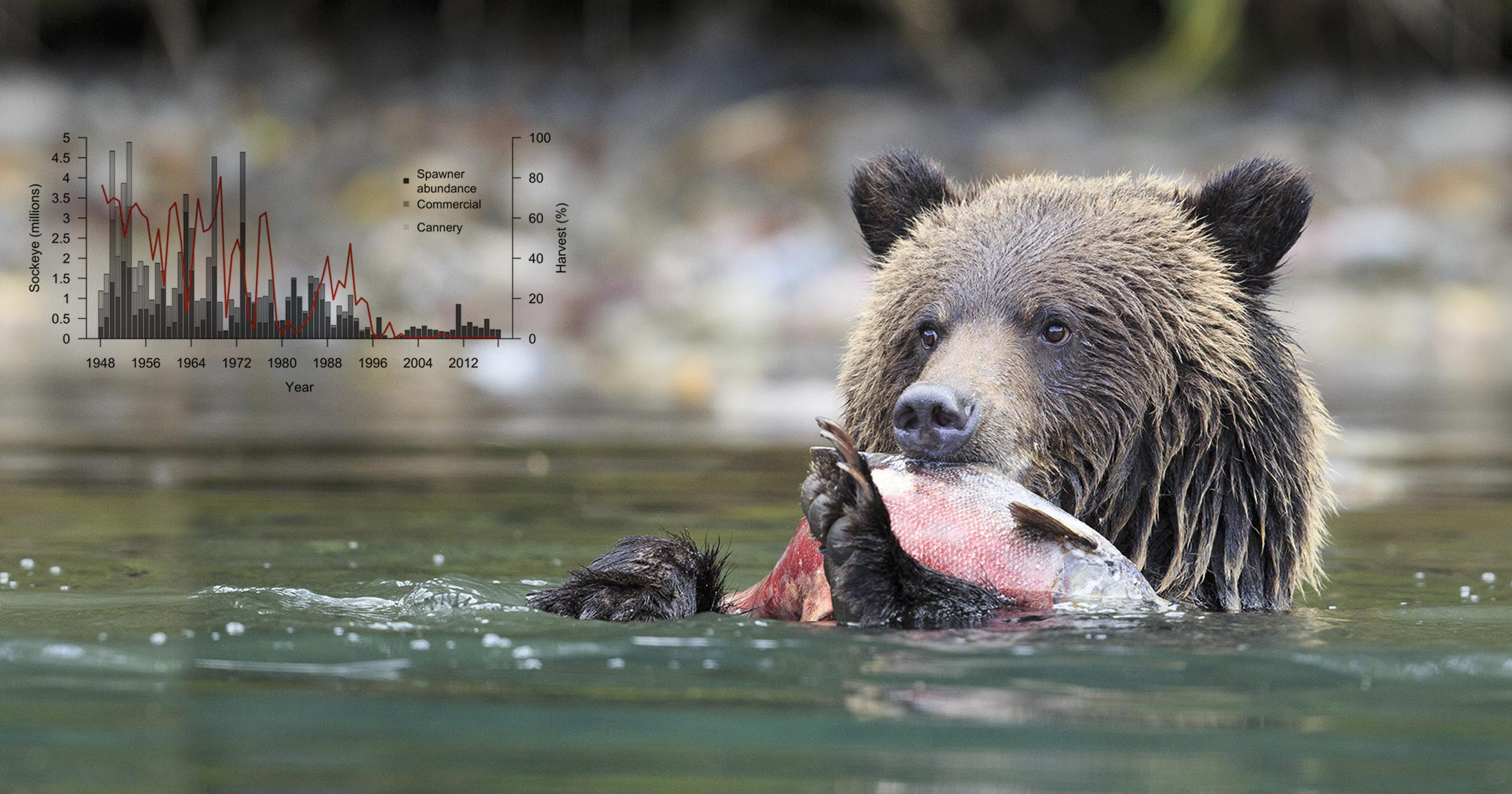 A grizzly bear sits in the water munching on a salmon in their hands.