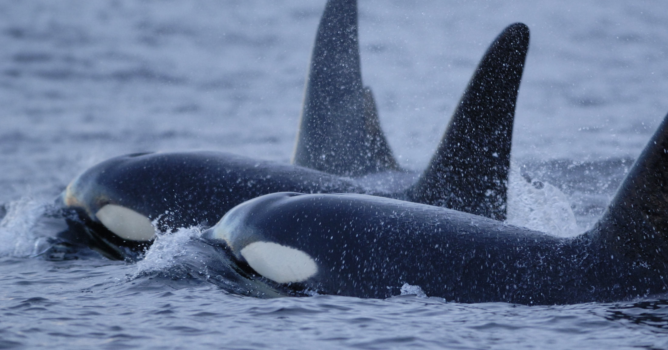 Killer whales surface in a small cluster on the coast of BC.