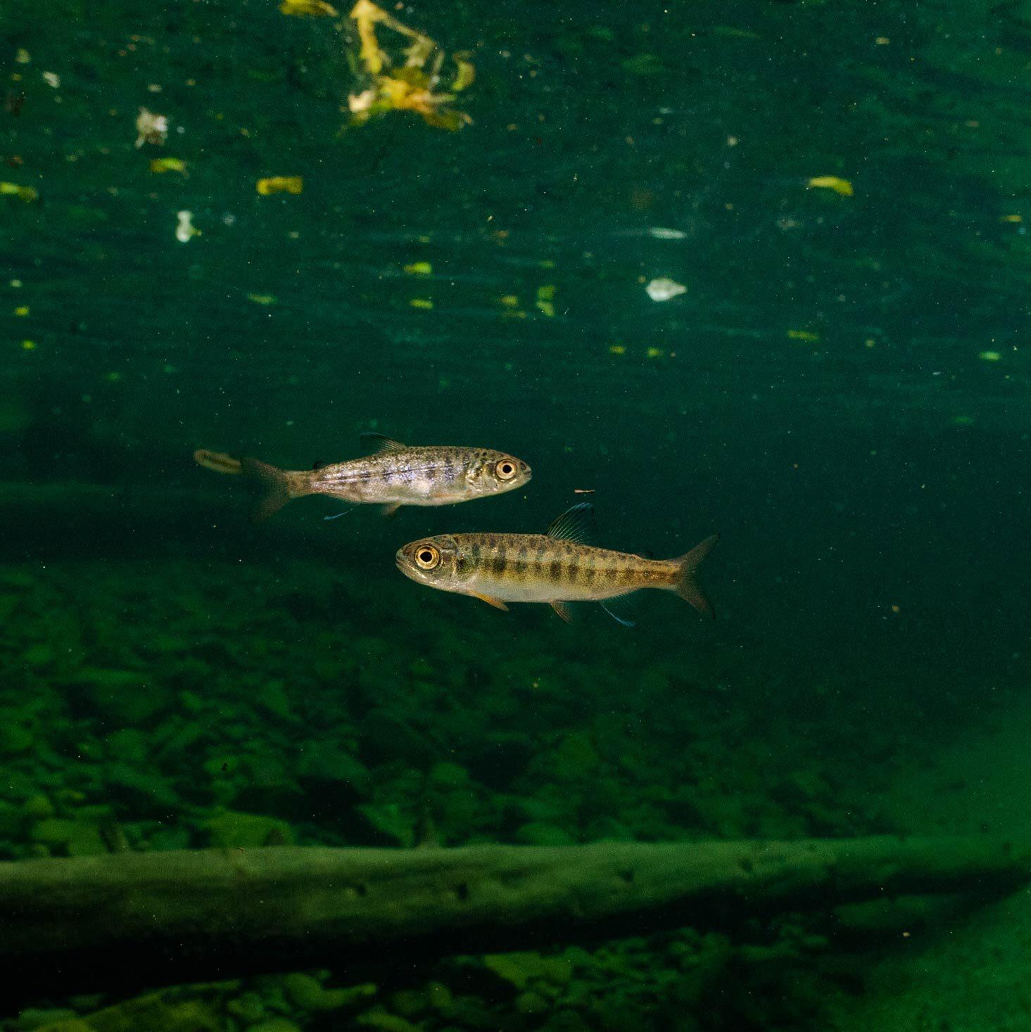 Two tiny fish float int he dark green sea.