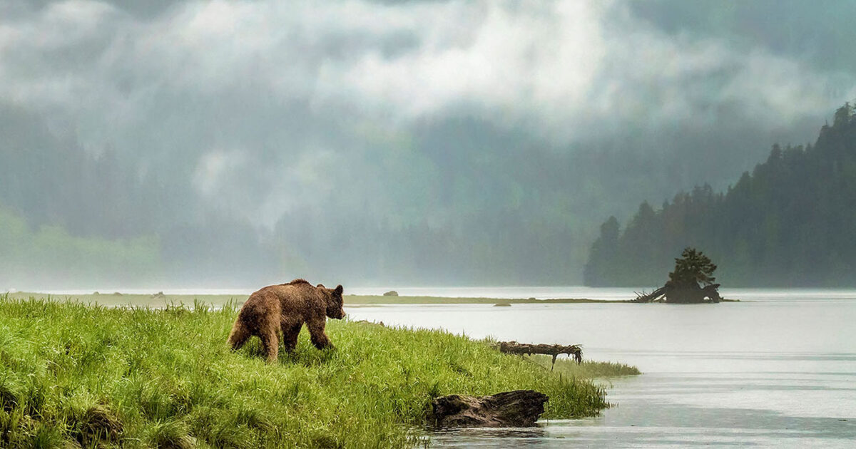 A grizzly bear walks through the short grass beside the ocean on a misty day in the mountains of the Great Bear Rainforest.