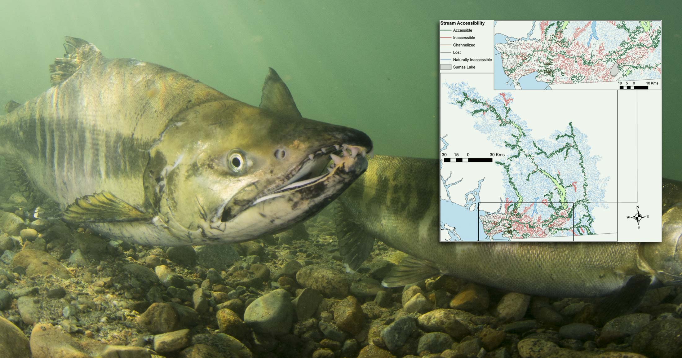 A close up of two salmon in the bright light of the Fraser River with a map of lost streams and flood plains hovering above.
