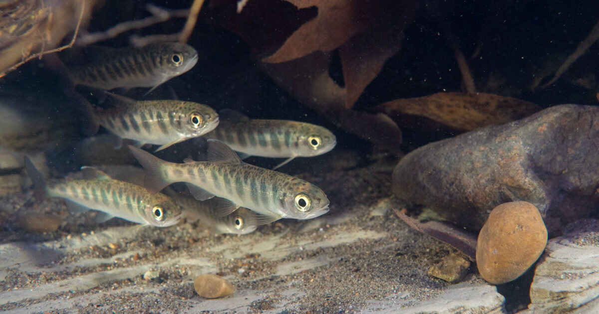 Group of salmon smolts.