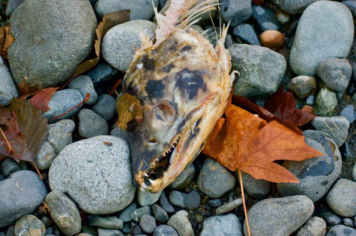 Salmon head on rocks.