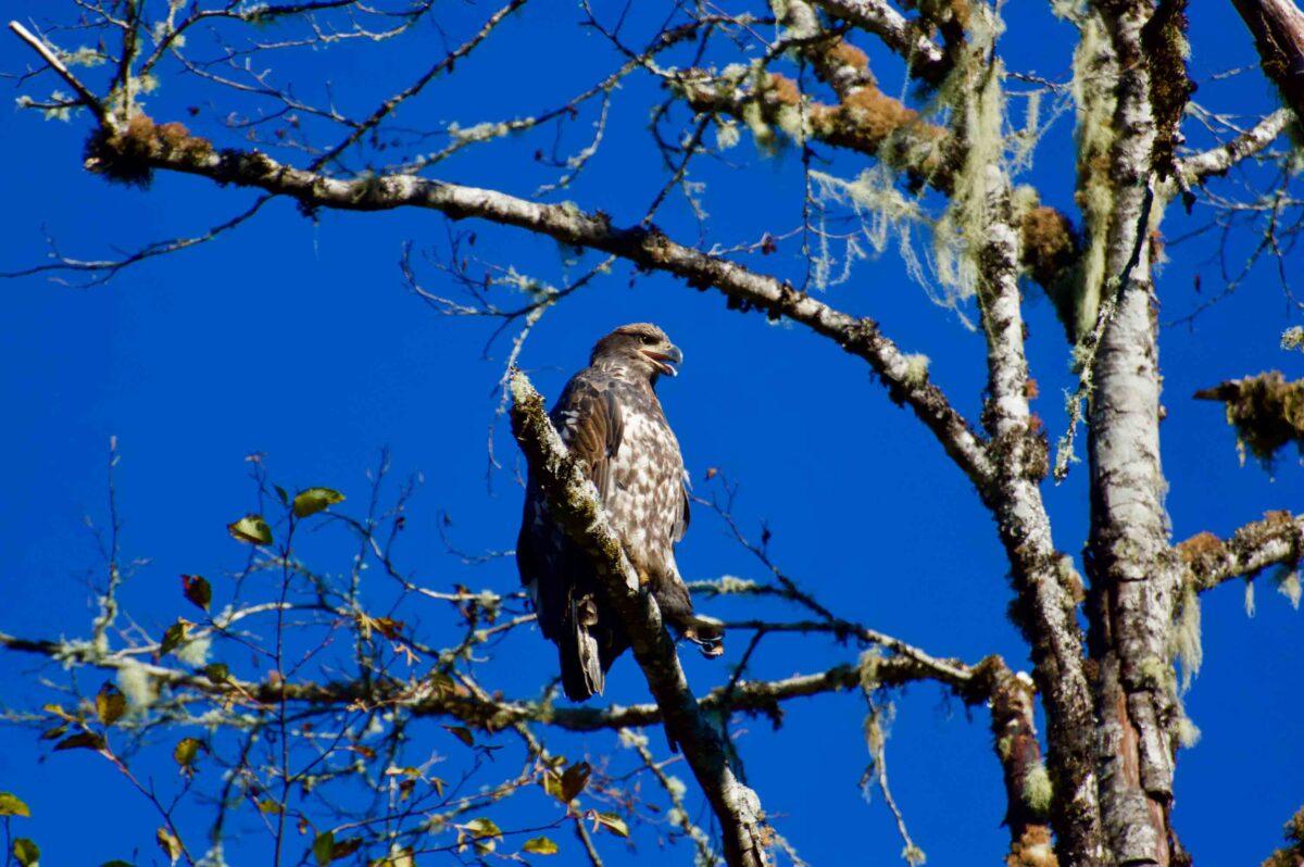 Juvenile Eagle in a tree.