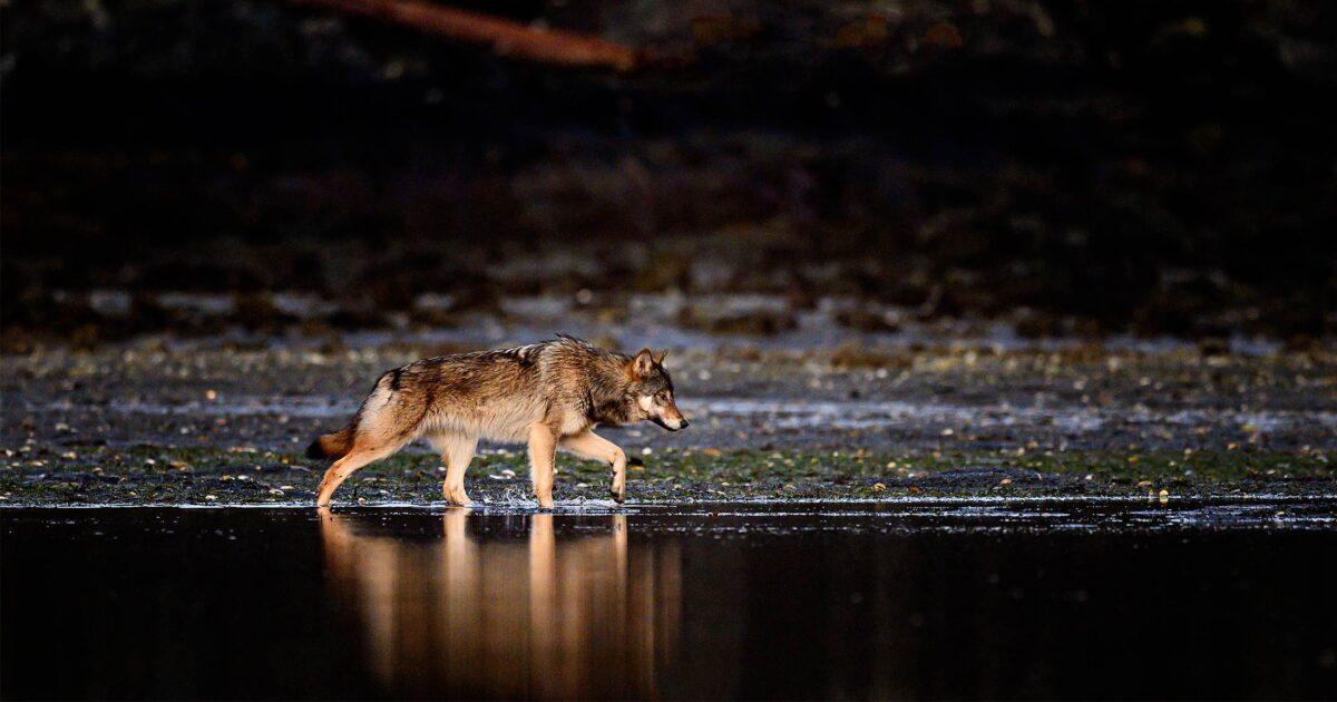 Coastal wolf walking along the shoreline on a calm day.