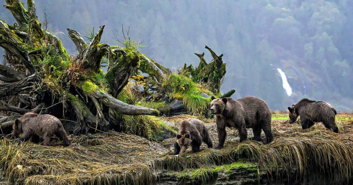 A mother grizzly with two cubs walking along a river bank.