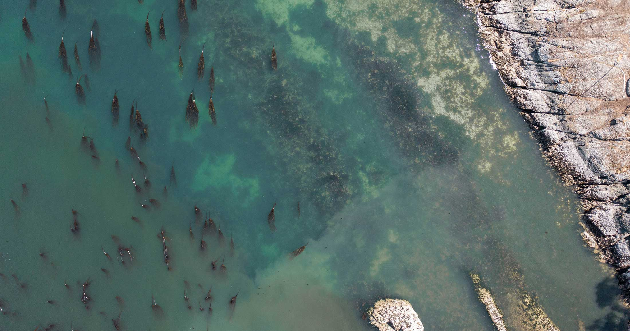 Birds eye view of a coastline with a bull kelp forest on a sunny day.